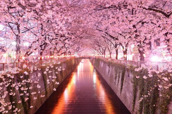 4463107-sakura-wallpapers